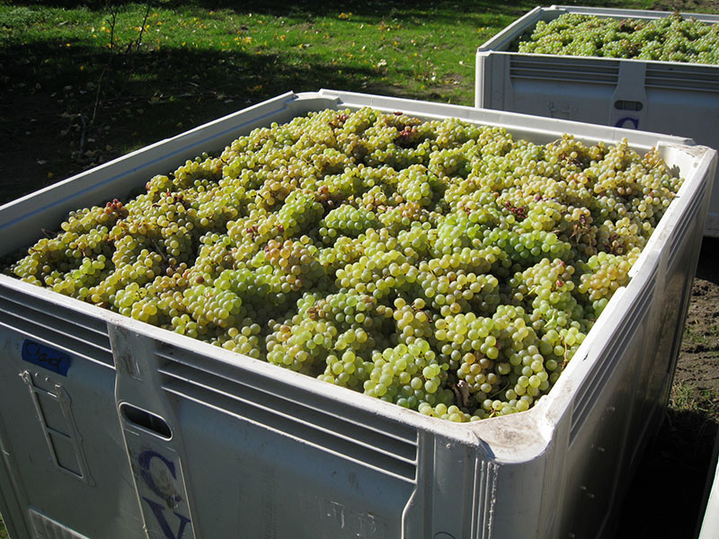 Garnier Vineyards grapes